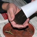 Cannabispflanze Runtersetzen