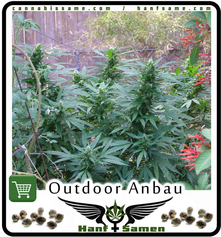 Cannabis Pflanzen Im Garten