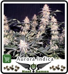Aurora Indica ist der potentester Indica Hanf