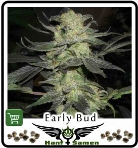 Cannabissamen für Aussen-Anbau