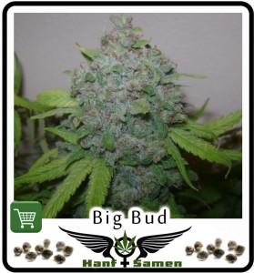Big Bud Hanfsamen Kaufen