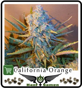 Samen_California_Orange_Bud