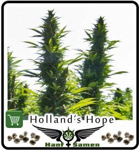 Außenanbau, Hanf Außen anbauen: Beste Samen Hollands Hope