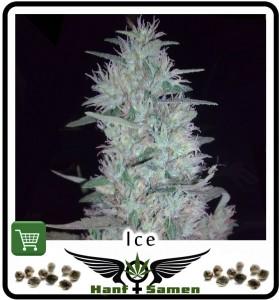 Ice Cannabissamen