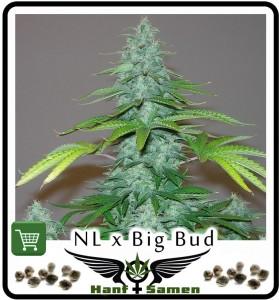 Die extrem hohe Potenz von Northern Lights mit dem ausgezeichneten Ertrag von Big Bud