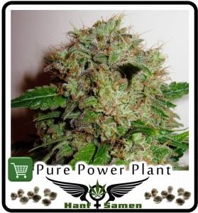 Weibliche Cannabis Samen