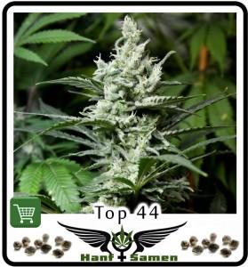 Top 44 ist eine der besten kommerziellen Cannabis Sorten