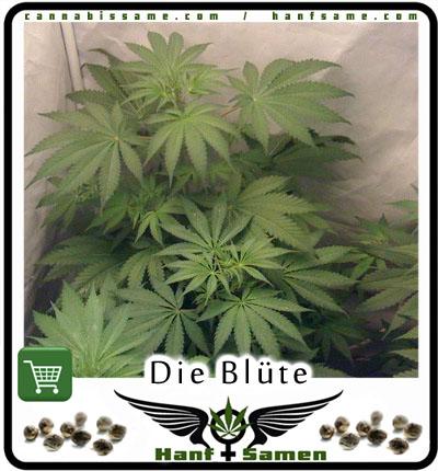 bl te von cannabis und ernte von cannabis cannabis. Black Bedroom Furniture Sets. Home Design Ideas