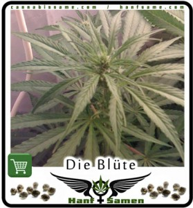 cannabis-blute-woche2a