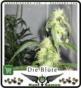 Marijuana Blüte Woche 4