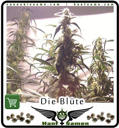 weitere wichtige aspekte von cannabis