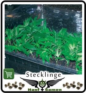 cannabis-stecklinge
