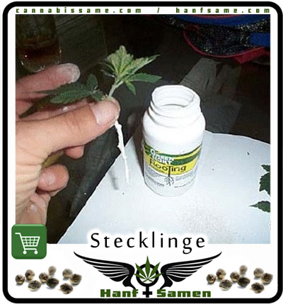 samen oder stecklinge anpflanzen cannabis. Black Bedroom Furniture Sets. Home Design Ideas