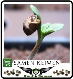 keimblater-cannabis-same