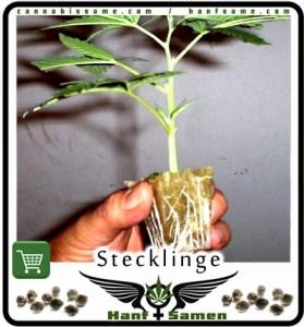 steckling-wurzeln