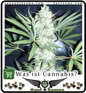 eine Cannabispflanze
