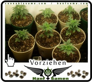 marihuana-vorziehen
